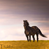 A lone stallion watches us from a distance.  His mares and foals are close by.