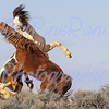 """McCullough Peaks Wild Stallions<br /> 29 March 2017<br /> """"Medicine Hat"""" (Pinto)"""