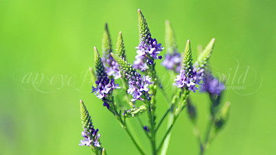 Blue Vervain (Flower)