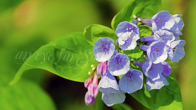 Virginia Bluebells (Flower)