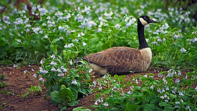 Virginia Bluebells (Flower) and Canadian Goose