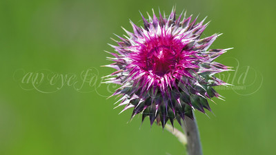 Field Thistle (Flower)
