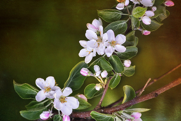 05/28/12 Crabapple Blossom
