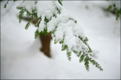 Hemlock in the snow.