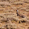 Jackrabbit bounding in the scrub.