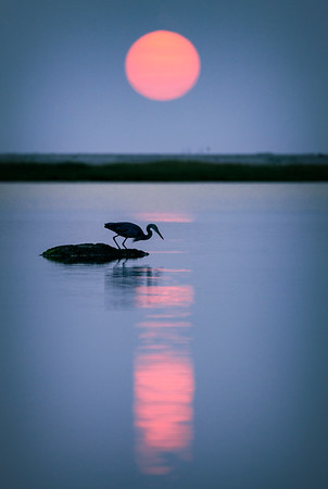 blue heron a7r4