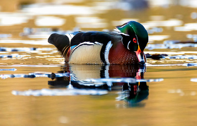 Wood Duck First