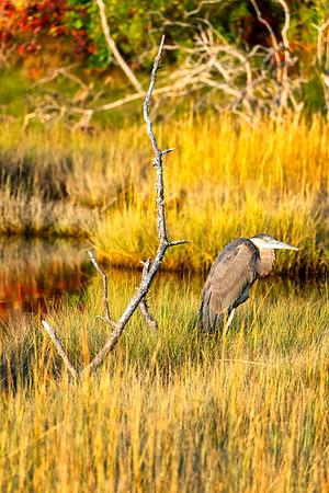 Truro Heron Sunlight
