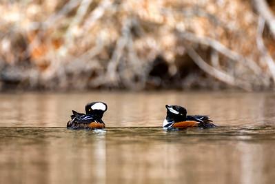 Duck Mers