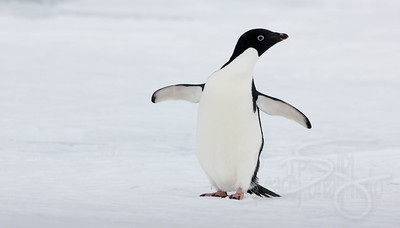 Adelie Penguin. Snow Hill Island, Antarctica