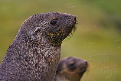 Antarctic Fur Seal pups, South Georgia Island.