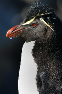 Rockhopper Penguin. Falkland Islands/Malvinas.