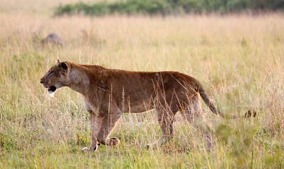 Lioness on the morning prowl. Queen Elizabeth Park, Uganda.
