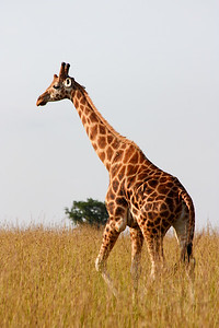 Giraffe at Murchison Falls National Park, Uganda