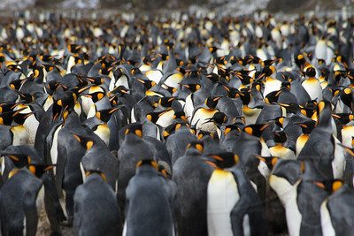 King Penguin Rookery. Fortuna Bay, South Georgia Island.