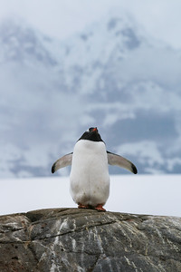 Gentoo Penguin at Port Lockroy