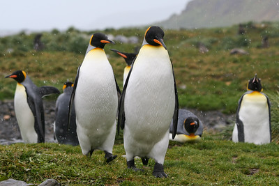 King Penguins. Fortuna Bay, South Georgia Island