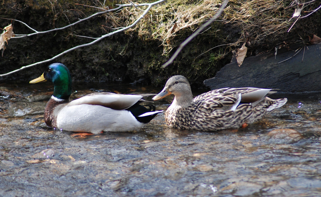 Mr. & Mrs. Duck
