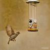 Feeding time,house sparrow