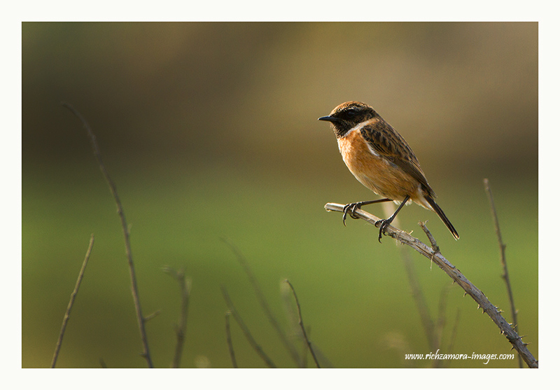 stonechat @ ANNESTOWN CO.WATERFORD MARCH 2012