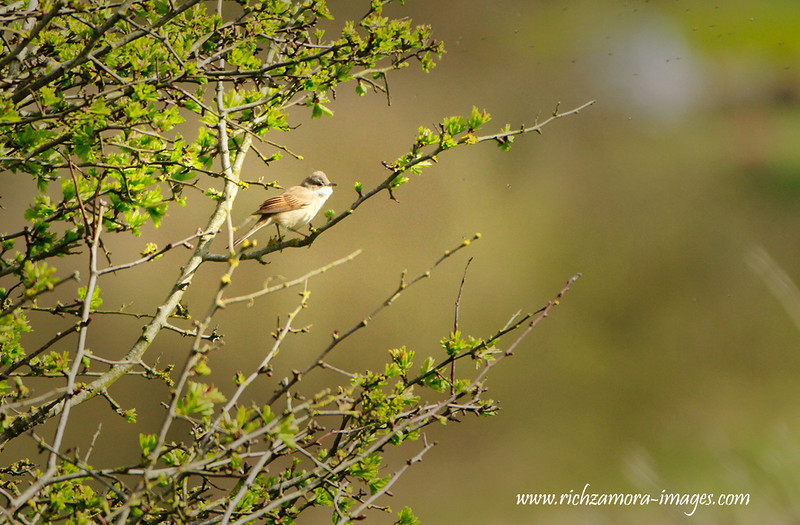 Whitethroat @ goat island,Ardmore Co.Waterford,May 4, 2013