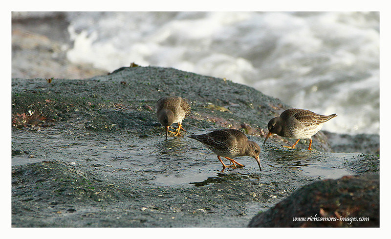 Purple sandpipers @ Dunmore east Jan 1, 2013