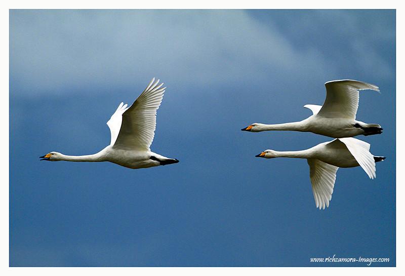 Whooper swans in flight @ Tacumshin 2012