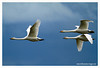 Whooper swans in flight @ Tacumshin 2012