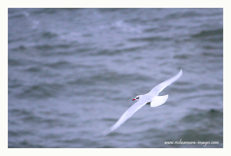 Mediterranean Gull @ Dunmore east harbour, Jan 20, 2013
