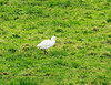 Cattle Egret @ Bunmahon,Co.Waterford December 26,2013