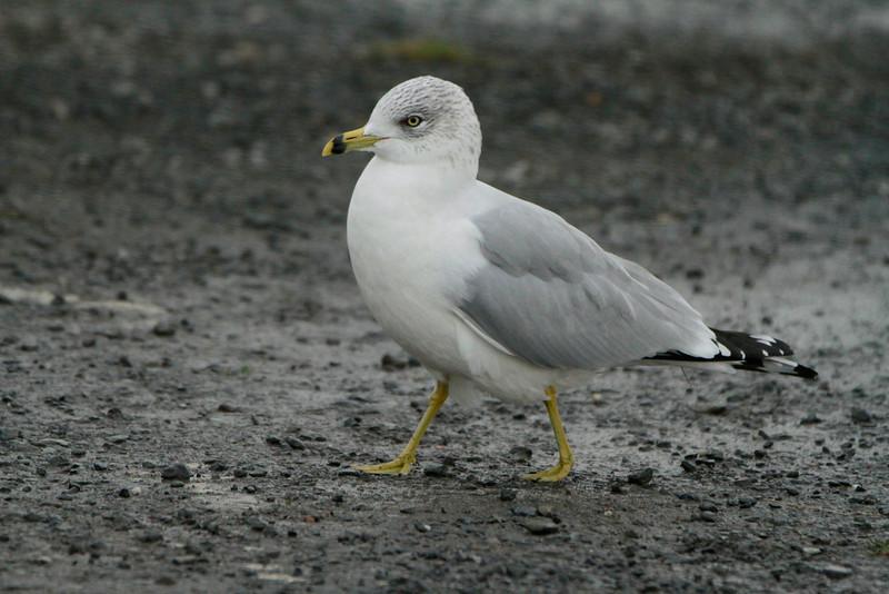 Ring-billed gull @ Tramore boating lake,December 5,2013