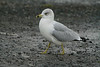 Ring-billed gull @ Tramore boating lake,December 5,2013