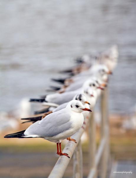 Black headed gulls adult winter plumage