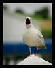 Glaucaus gull