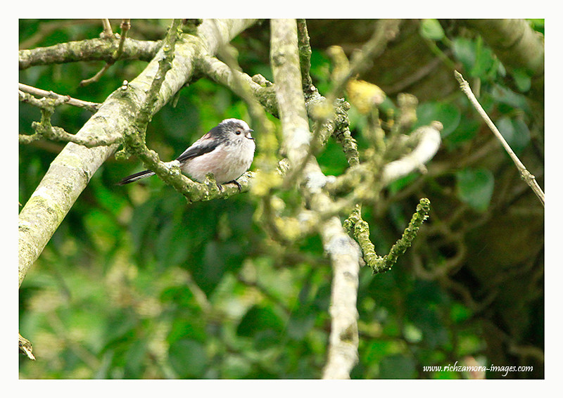 Long Tailed tits @ Knockaderry reservoir,kilmeaden,Co.Waterford,2012