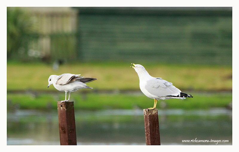 Ring-billed Gull 2012