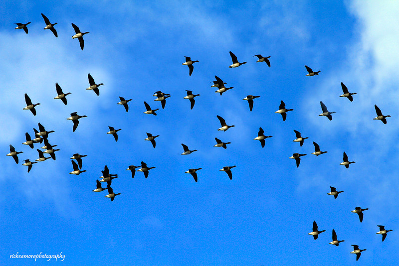 geese flight formation