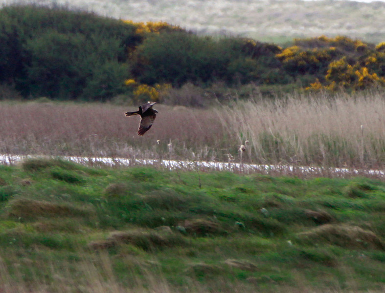 Marsh Harrier @ Tacumshin lake,May 13,2013