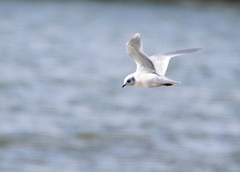 Adult Ross's Gull @ Lady's Island Lake Co.Wexford.February 20,2014