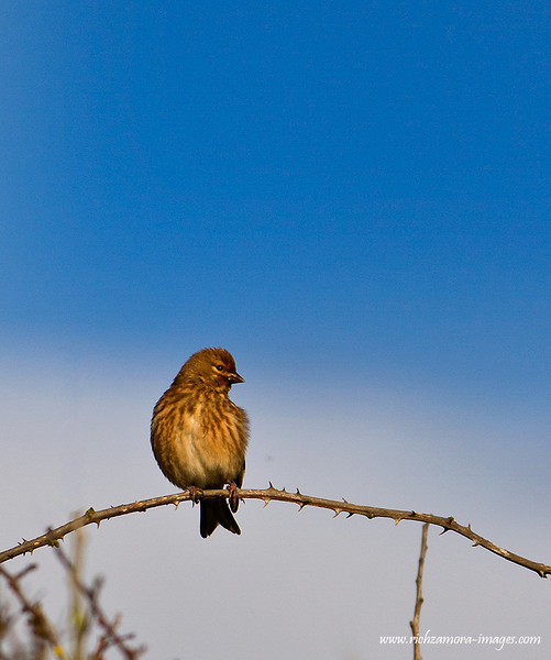 Linnet near brownstown head co.waterford