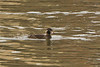 Surf scoter @ Dungarvan,Co.Waterford,December 31,2012