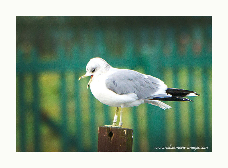 Common Gull with ringed @ tramore boating lake Jan 17 2013