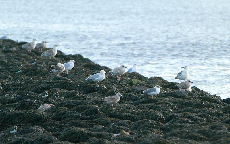 Azorean type Yellow-legged Gull @ Wexford Harbour.January 22,2014