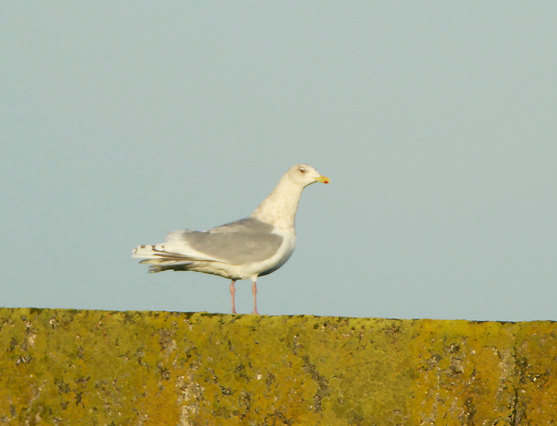 Adult Kumlien's Gull @ Helvick pier,January 20,2014