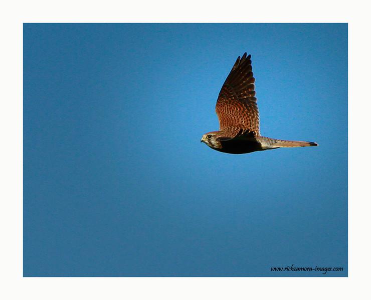 Kestrel in flight @ Lady island, wexford 2012