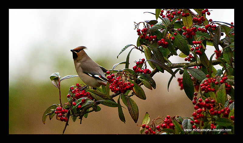 Waxwing on the Berries tree @ tramore,waterford Jan 1, 2013