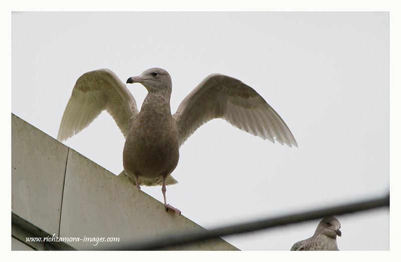 1st-winter Glaucous Gull @ Dunmore east harbour, Jan 17, 2013