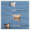 Iceland Gull,1st-winter,@ Dunmore east,Waterford, Jan 27,2013