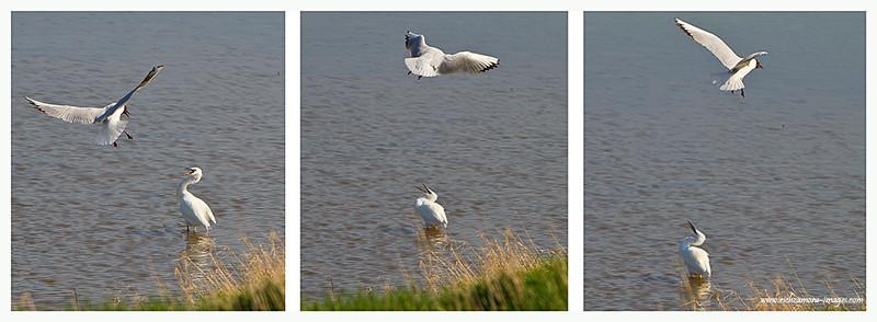 Blackheaded gull and Little Egret @ wexford wildfowl 2012