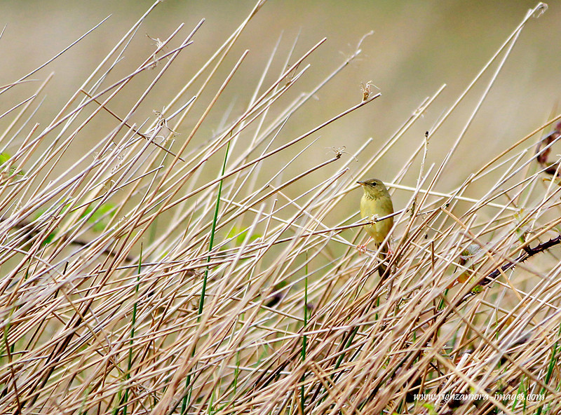 Grasshopper Warbler @ annestown bog,May 12,2013